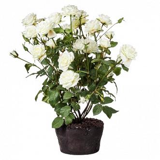 Букет роз (95419)